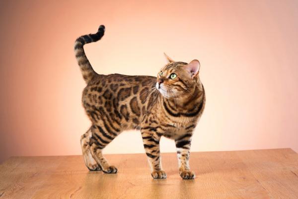 Qu'est-ce que cela signifie pour un chat d'avoir la queue relevée?