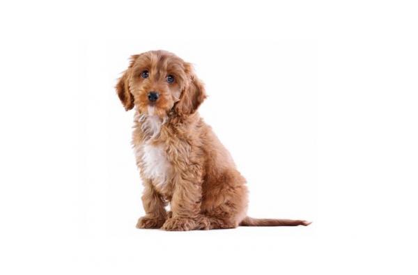 Race de chien COCKAPOO - Origine, caractéristiques et soins