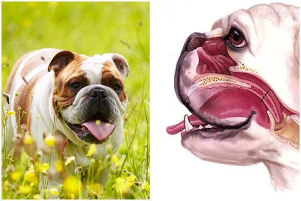 Races de chiens brachycéphales - Caractéristiques et soins nécessaires