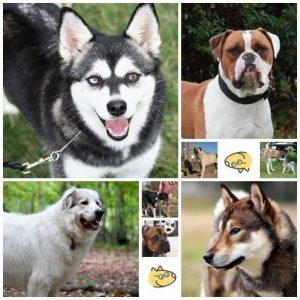 Races de chiens non reconnues par la FCI