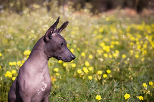 Races de chiens sans poils