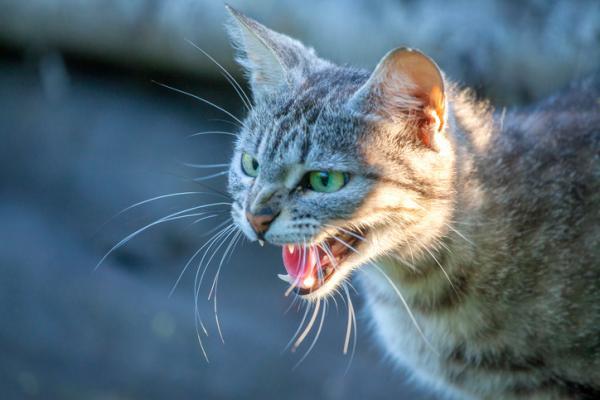 Rage du chat - Symptômes, contagion et traitement