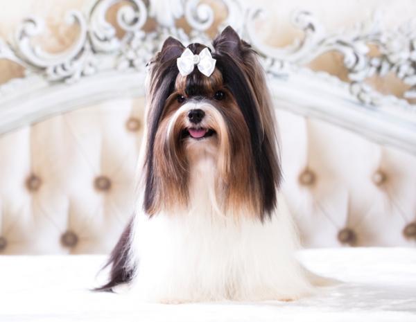 Remèdes maison pour démêler les poils de mon chien