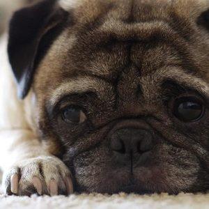 Remèdes naturels pour la gastro-entérite chez le chien