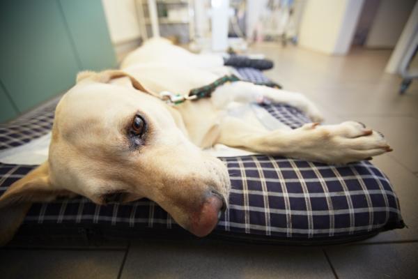 Rickettsie chez le chien - Symptômes et traitement