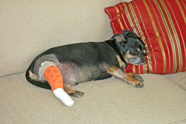 Rupture du ligament croisé chez les chiens