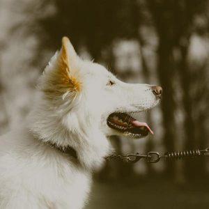 Soin des chiens albinos