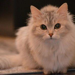 Stomatite chez les chats - Symptômes et traitement