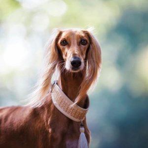 Symptômes de la première chaleur d'un chien