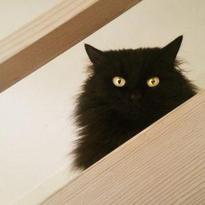 Syndrome de Cushing chez le chat