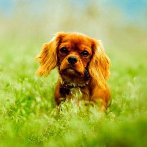 Ténia chez les chiens - Symptômes et traitement