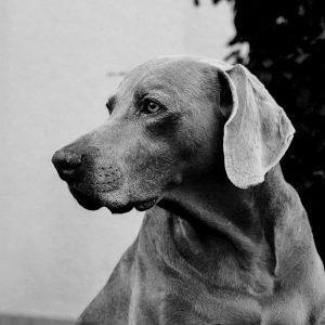Tumeurs cutanées chez le chien