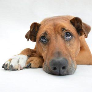 Tumeurs hormonales chez le chien