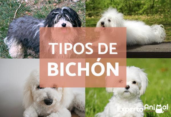 Types BICHON - Liste complète avec photos