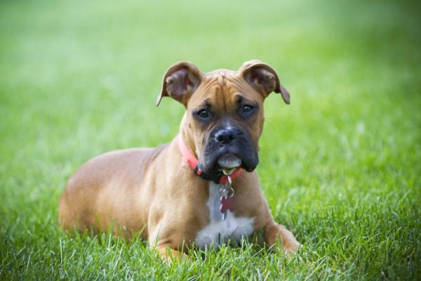 Types de BOXER DOGS - allemand, américain et anglais