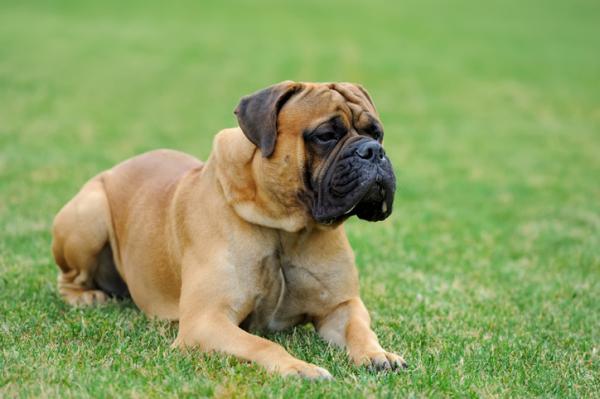 Types de Mastiff qui existent - Liste complète AVEC PHOTOS