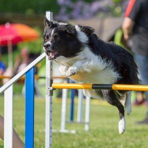 Vitamines pour chiens haute performance