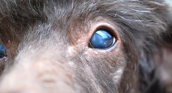 Yeux bleus chez les chiens - Causes, traitements et remèdes