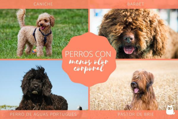 10 races de chiens qui ne sentent PAS