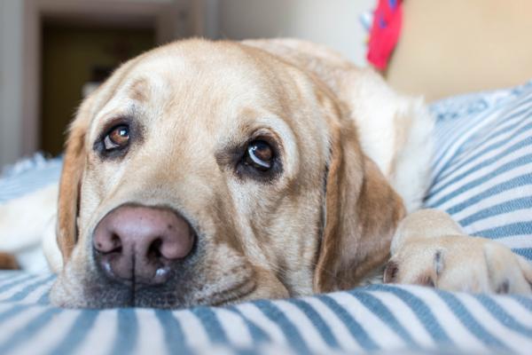 Virus chez les chiens - Symptômes et maladies courants (avec photos)