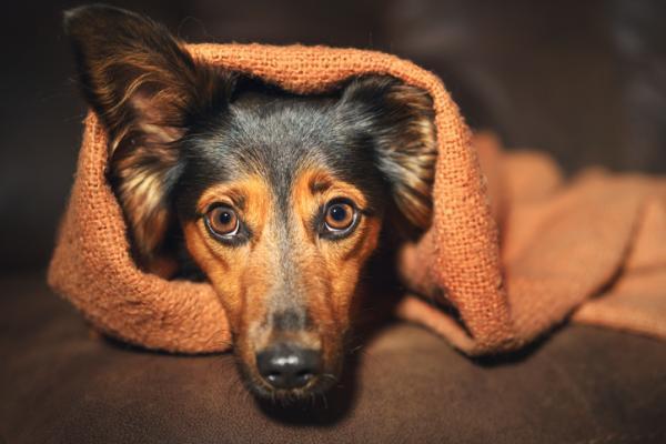 DIAZEPAM pour chiens - Posologie, utilisations et effets secondaires