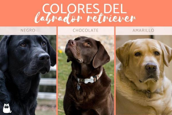 Couleurs du Labrador Retriever - Liste complète avec photos