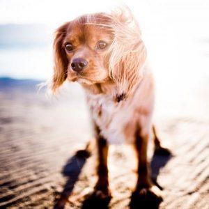 Coup de chaleur chez les chiens - symptômes et traitement