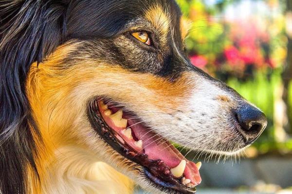 Mauvaise haleine chez les chiens - Causes, symptômes et traitement (Guide complet)