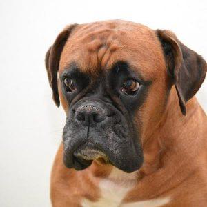 Remèdes à la maison pour la gastrite chez les chiens