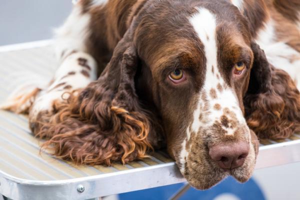 Remèdes à la maison pour le foie gonflé chez les chiens