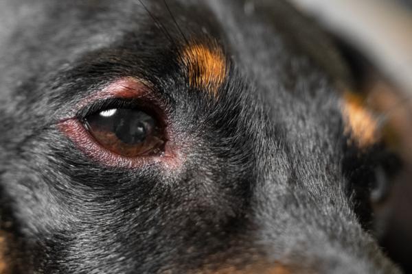 Dexaméthasone chez les chiens - Dosage, utilisations et effets secondaires