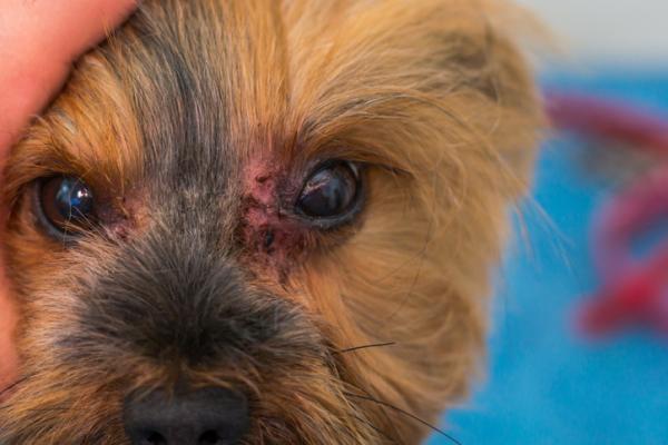 Itraconazole pour chiens - Dosage, utilisations et effets secondaires