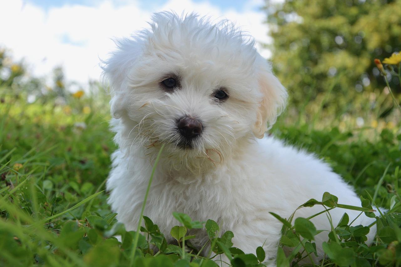 Races de petits chiens: 5 conseils pour leur éducation