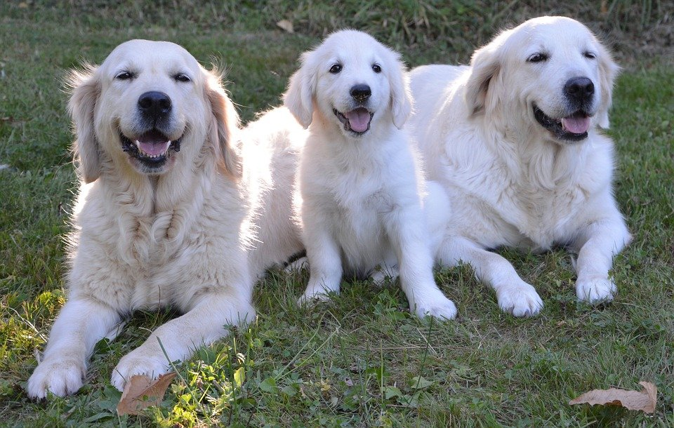 Comment sont éduqués les chiens pour aveugle?
