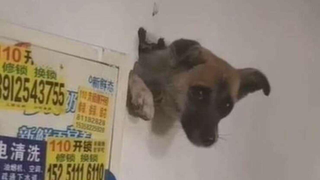 Chien effrayé coincé dans un mur après l'explosion des pétards (VIDEO)
