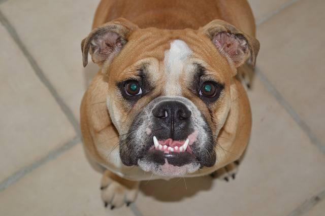 Comment et quand nettoyer les dents de votre chien