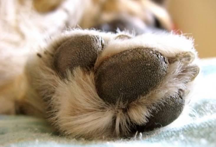 Comment protéger les coussinets de votre chien de l'asphalte chaud