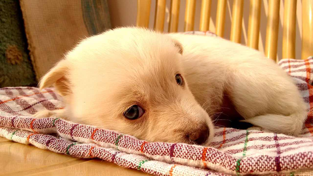 Les bêta-bloquants chez les chiens, quels sont-ils? Tout effet indésirable