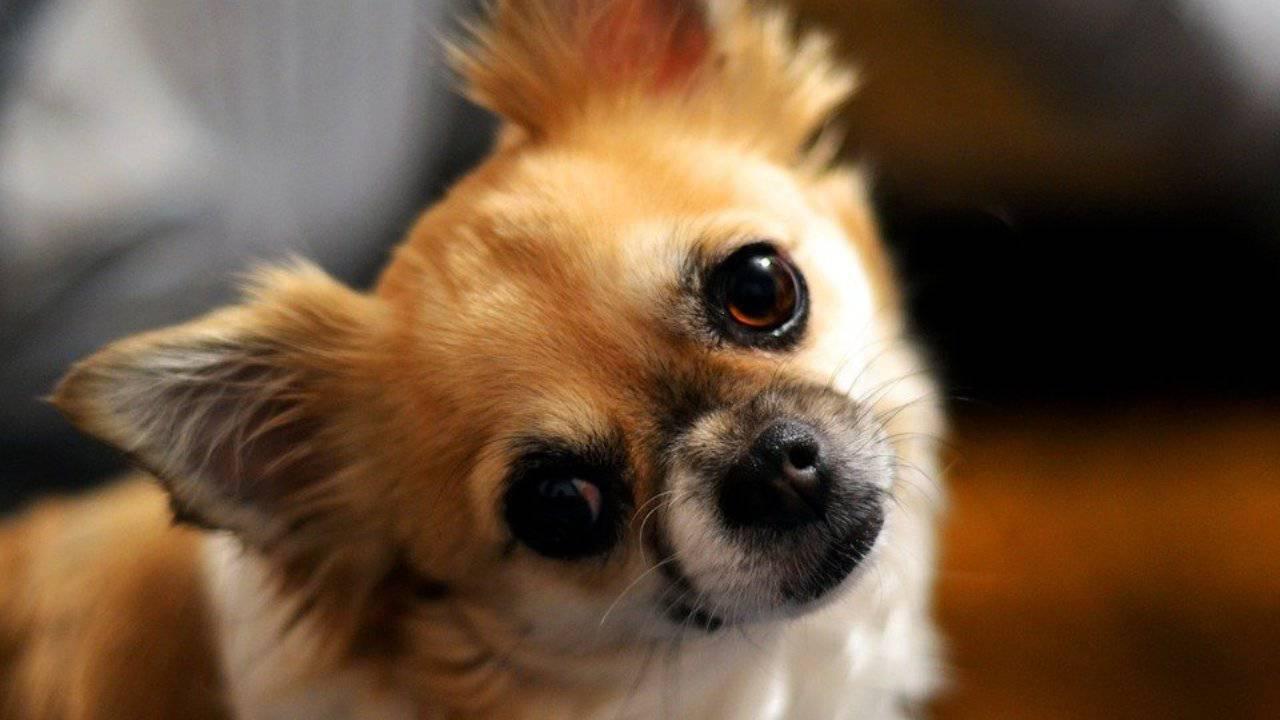 De quoi nourrir le Chihuahua: une nutrition correcte