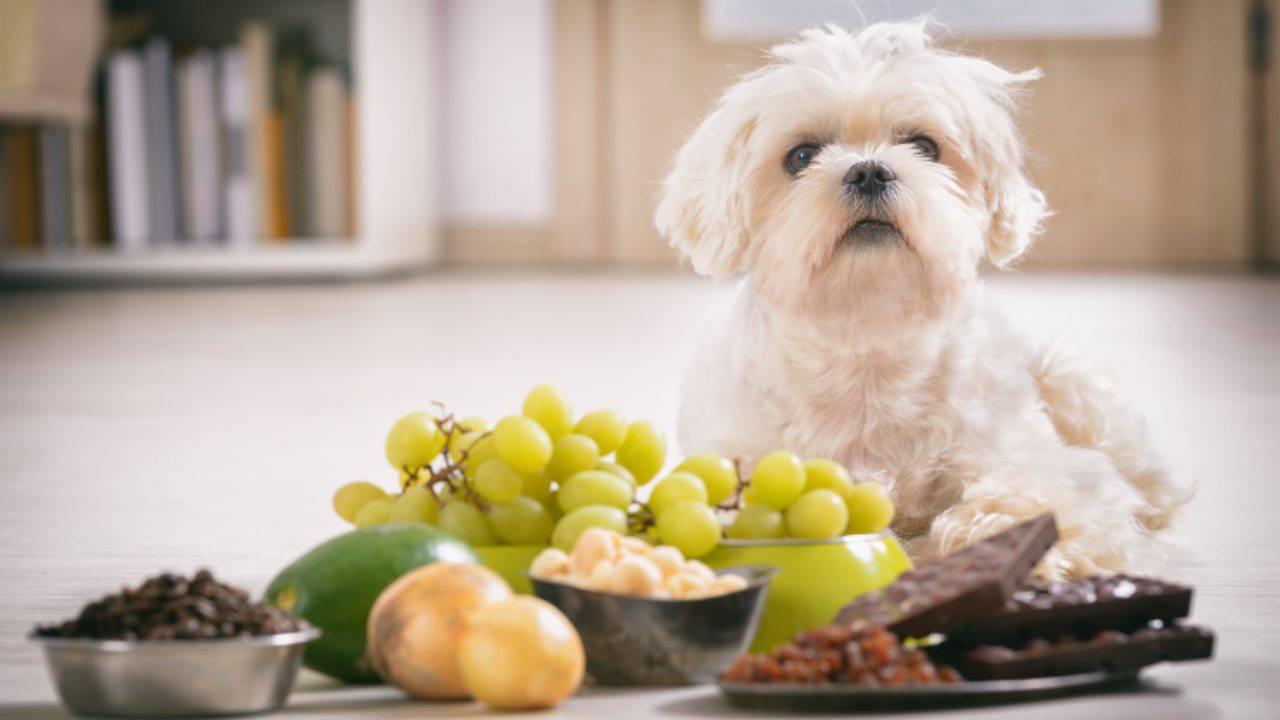 De quoi nourrir les maltais: une bonne nutrition