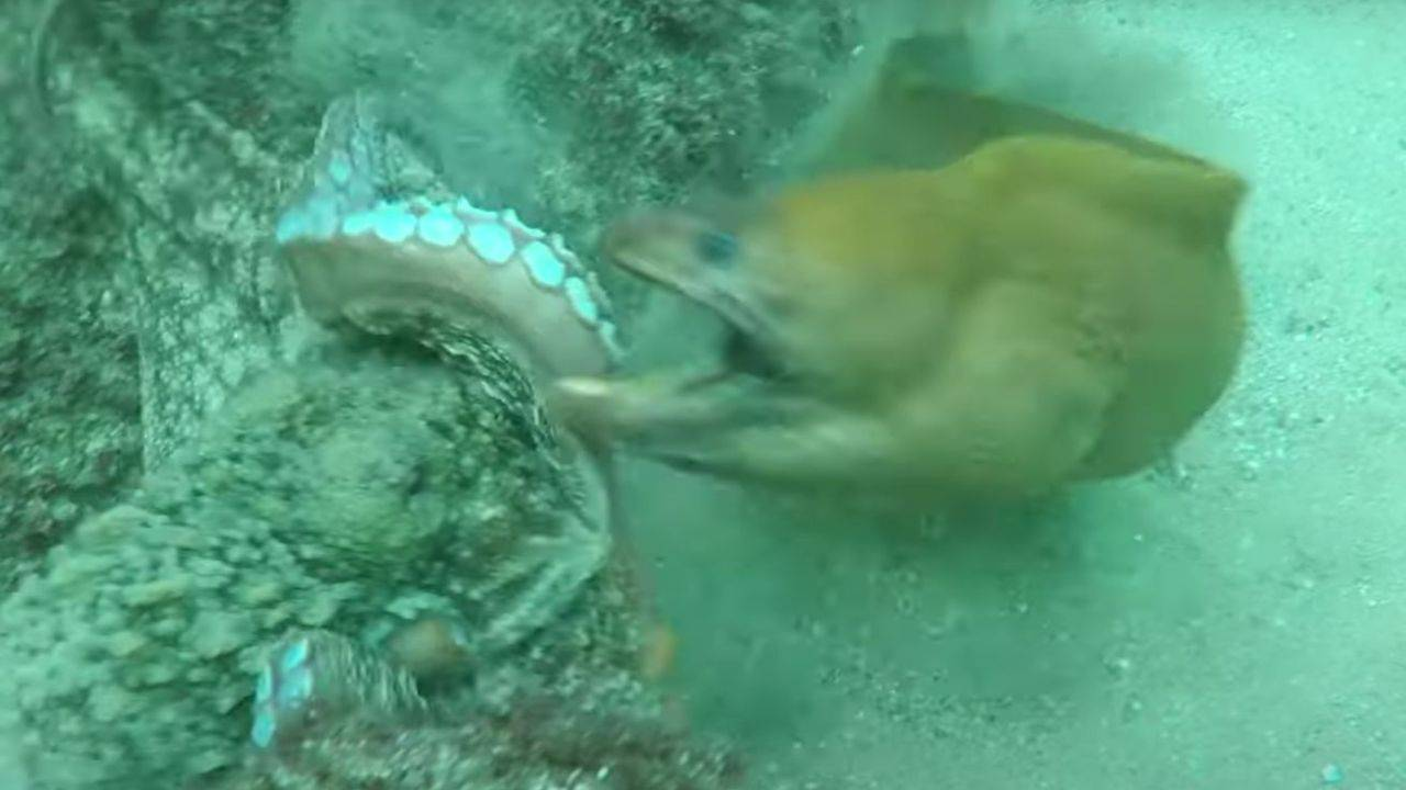 La murène attaque la pieuvre: à la fin vient la surprise - VIDEO