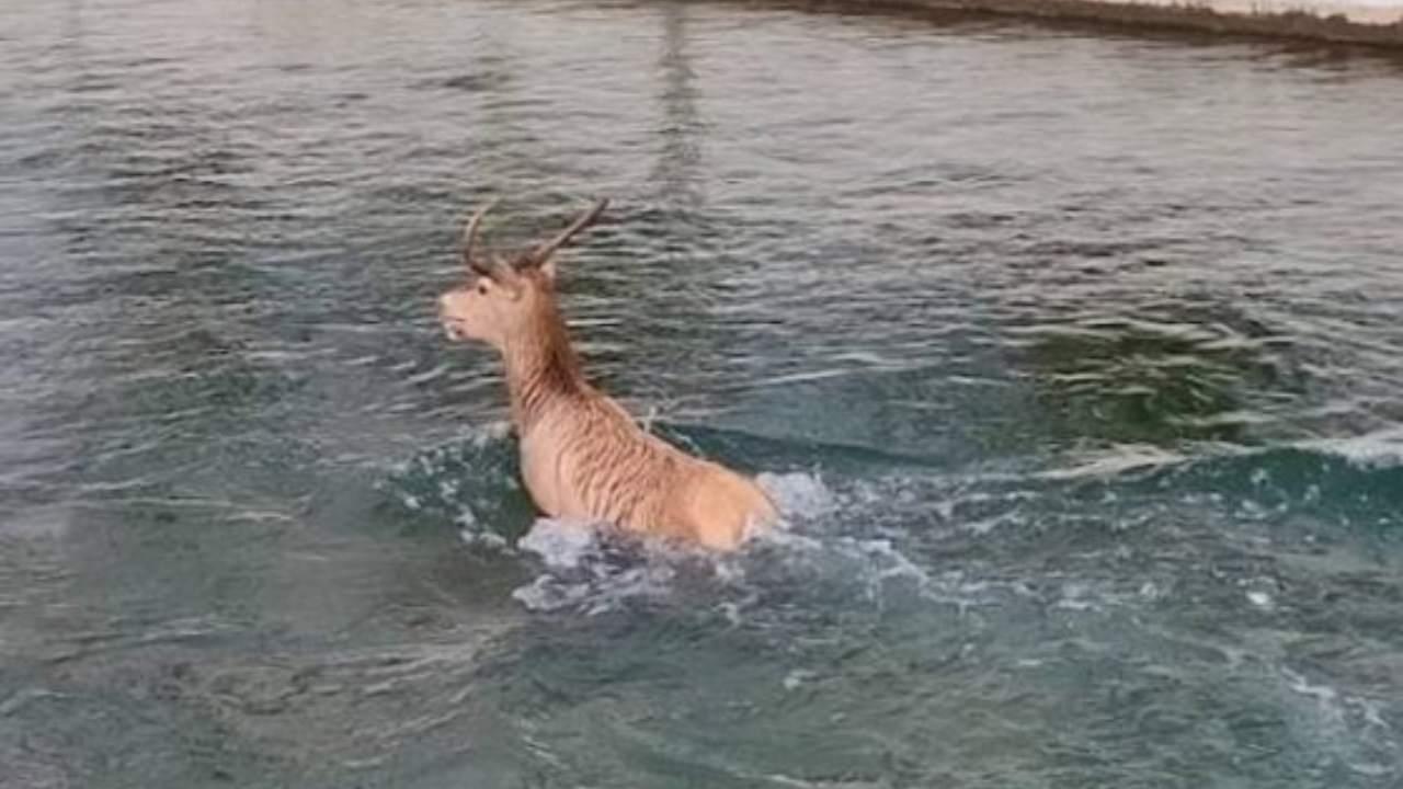 Le cerf apparaît dans la ville: mais après quelques pas il tombe dans le canal