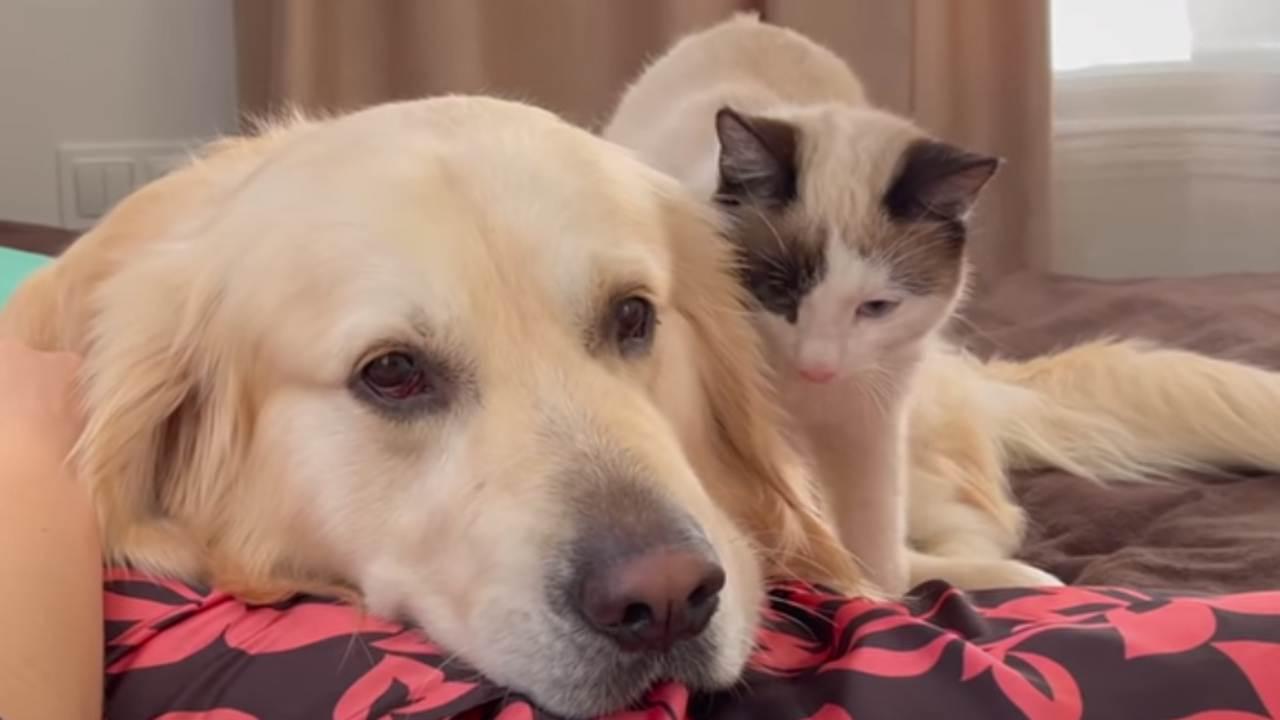 Le chat fait des massages au chien: une très belle scène -VIDEO