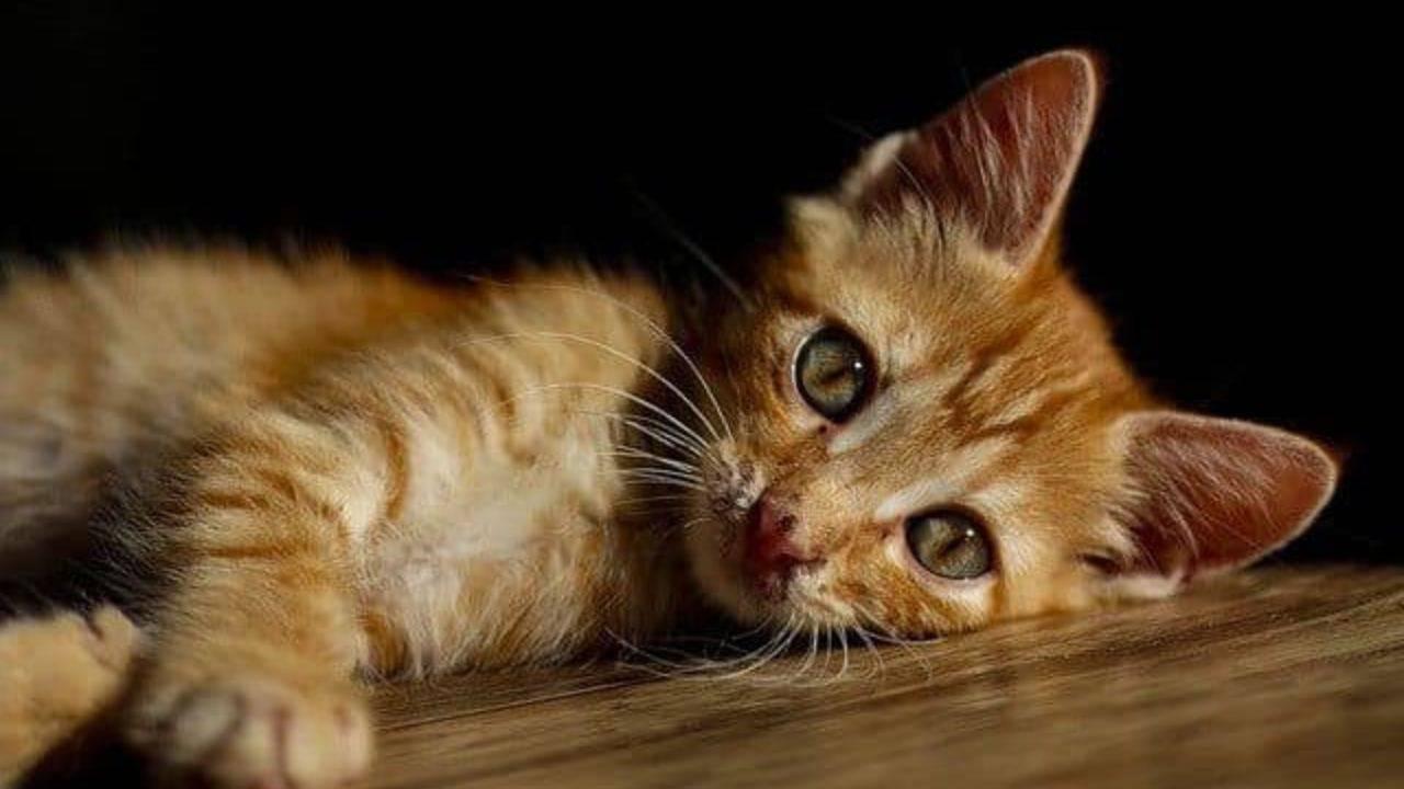 Le chat sauvé d'une pendaison brutale: alarme en ville