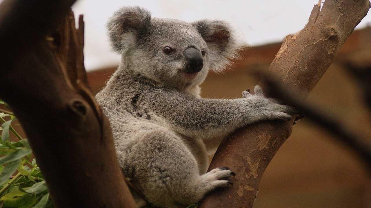 Le koala sans patte grimpe à nouveau: l'histoire d'une belle renaissance