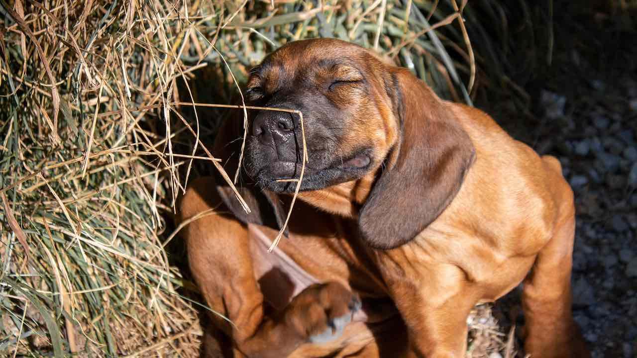 Le psoriasis chez le chien peut-il être risqué? Thérapie et prévention possibles