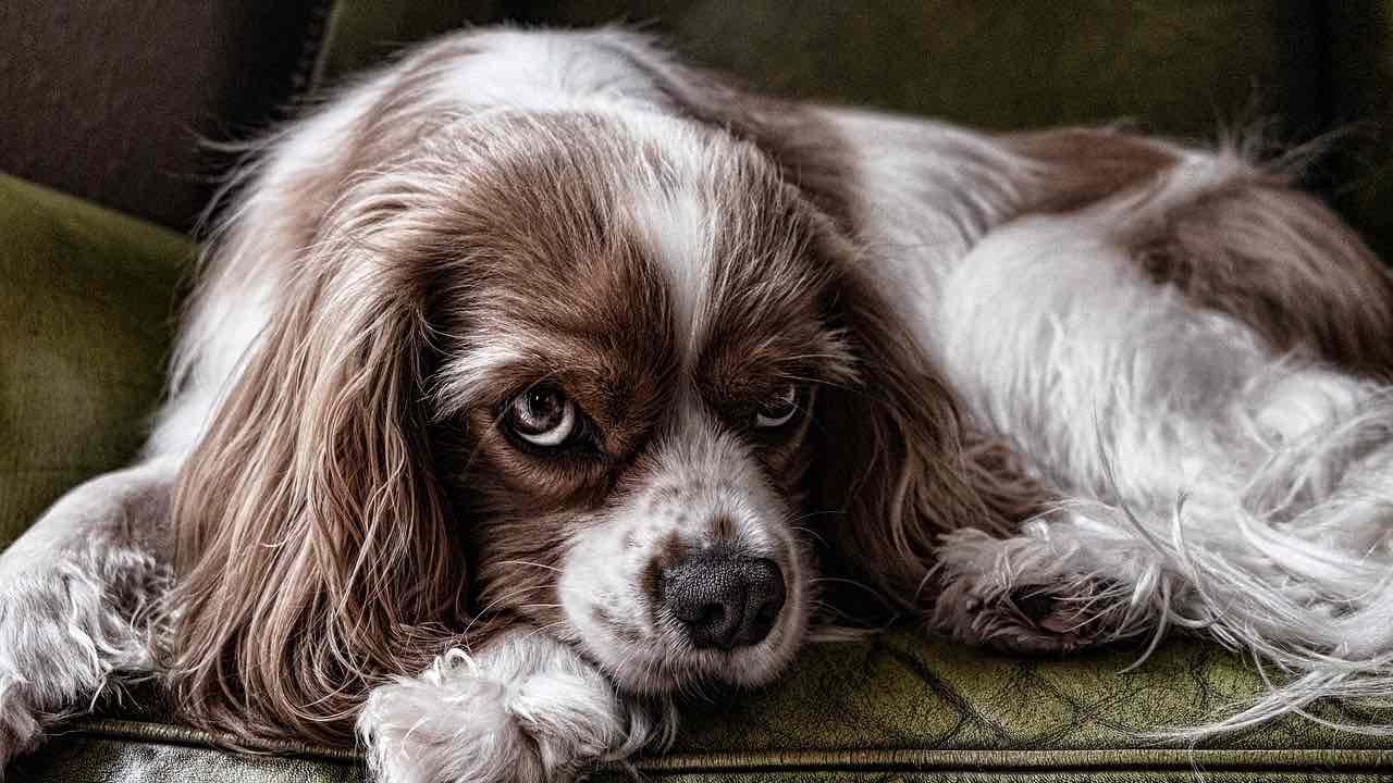 Régime cétogène dans l'épilepsie du chien: risques et avantages pour Le chien