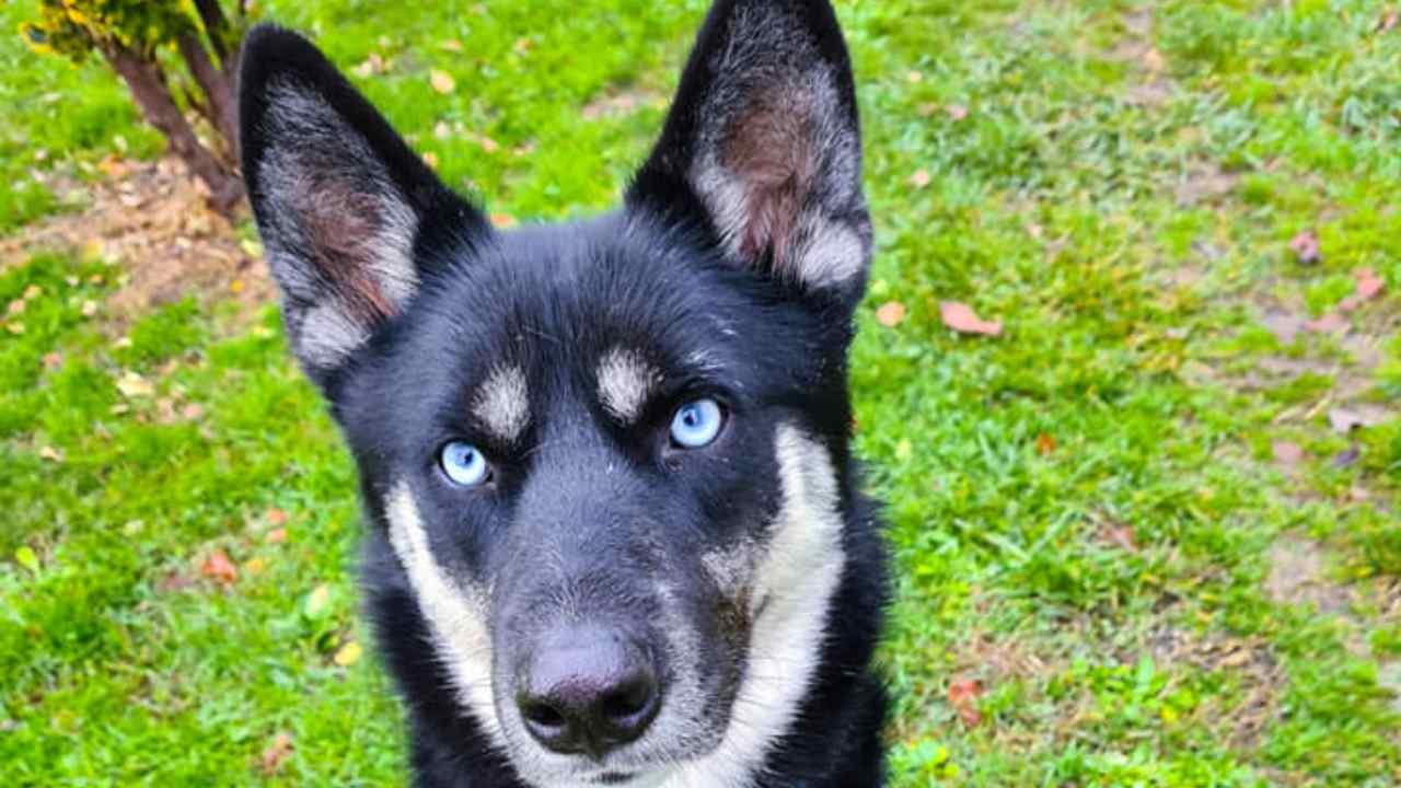 Temaki, le Husky qui veut à nouveau faire confiance à l'être humain: il cherche une maison
