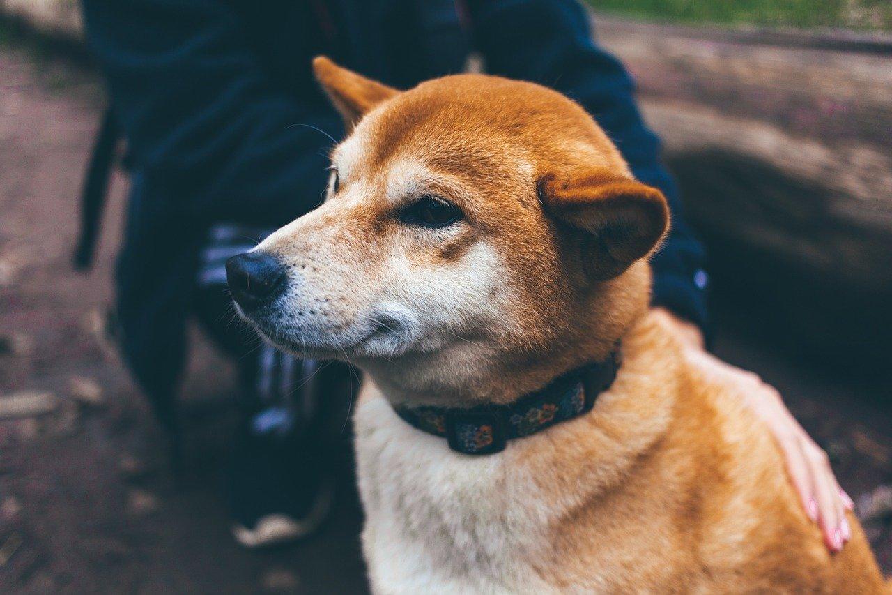 Traceur GPS pour chien : qu'est-ce que c'est et à quoi sert-il?