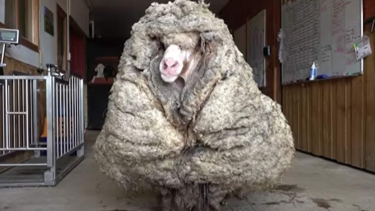 """Un mouton a été retrouvé avec 35 kg de polaire sur ses """"épaules"""" - VIDEO"""